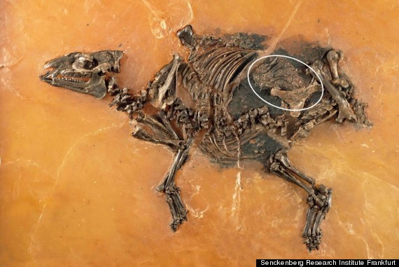 pregnant horse fossil