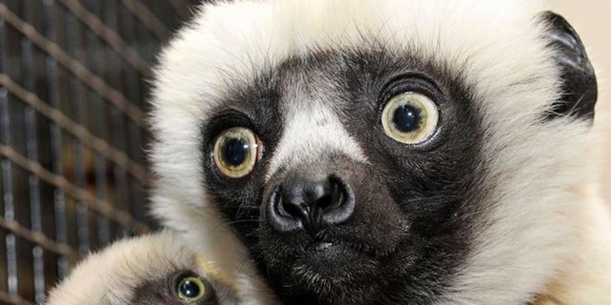 Celebrity TV Lemur Zoboomafoo Dies At 20, Internet Gets ... Zoboomafoo