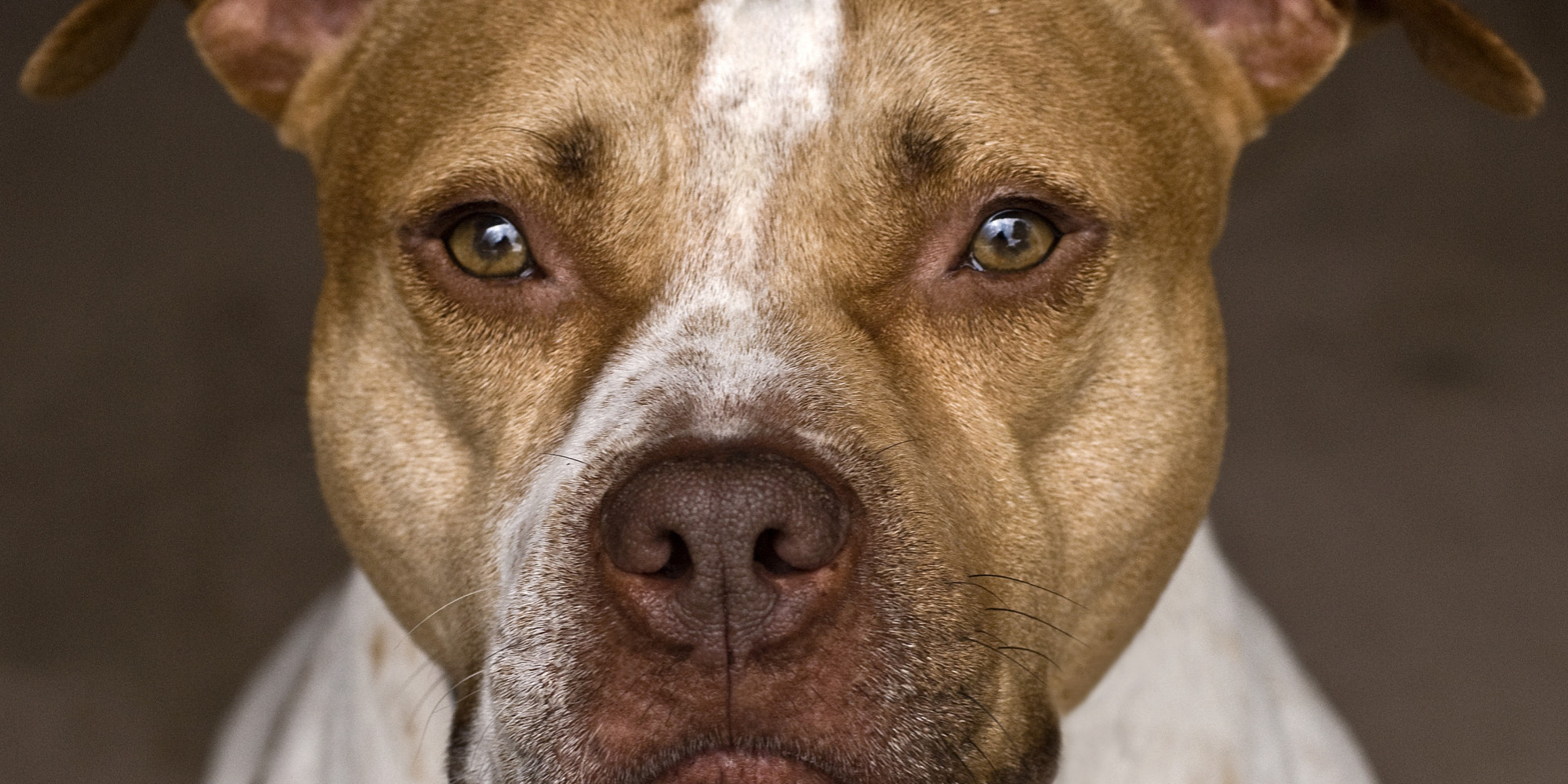 pit bulls are not aggressive Impulsive aggressive behavior in dogs  during my investigations of dog fighting even the dog fighters admitted that they would not leave their pit bulls alone with.