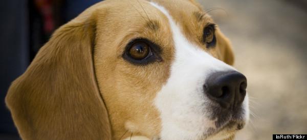 Pit Bulls Bust Through Fence; Kill Beagle | DogsBite Blog