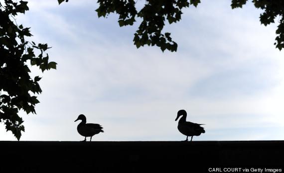 silhouette ducks