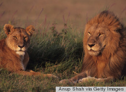 How to Survive Coming Face-to-Face With a Growling Lion on an African Safari