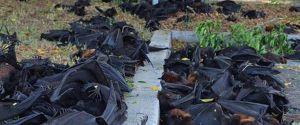 DEAD BATS AUSTRALIA