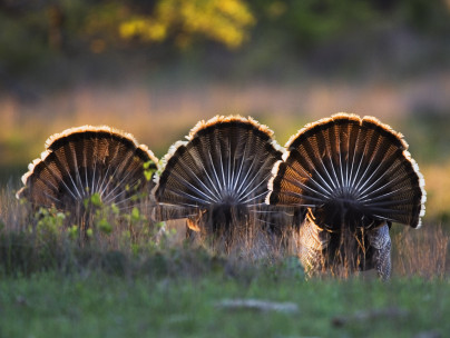 turkey tails