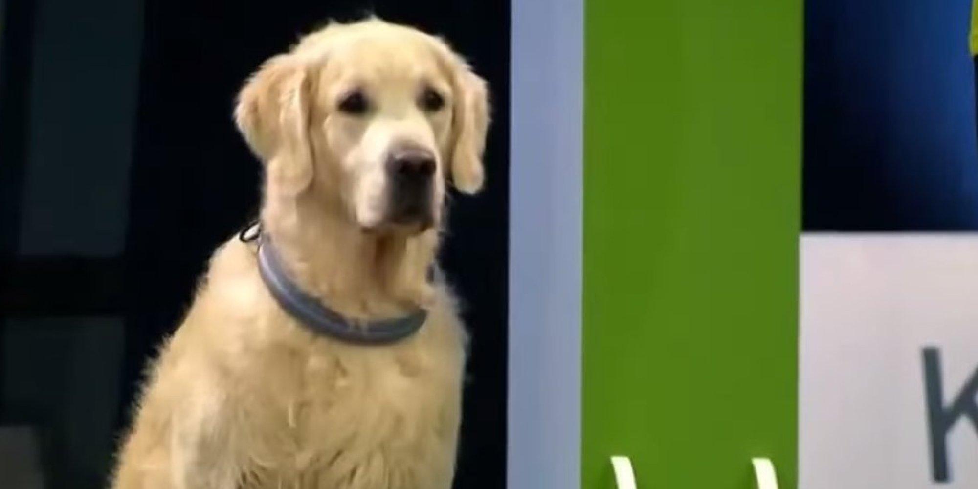 WATCH: Golden Retriever Goes On Delightful Rampage During Obedience School