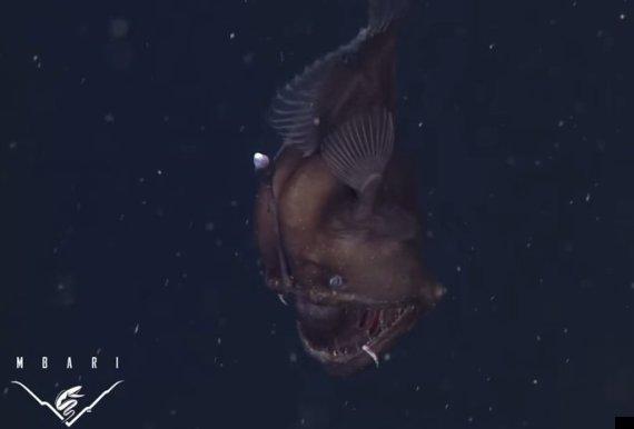 Black Devil Fish Black Sea Devil Fish