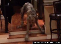 MIRA: Este perro gigante le tiene pavor a unas diminutas escaleras