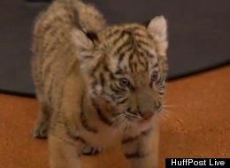 WATCH: This Baby Tiger Frolicking Is The Cutest Thing You'll See Today