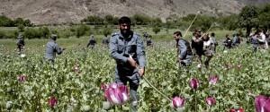 Afghanistan Poppies3