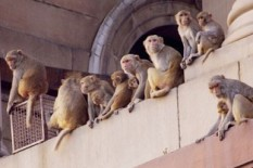 A group of monkeys in India | Pic: Getty