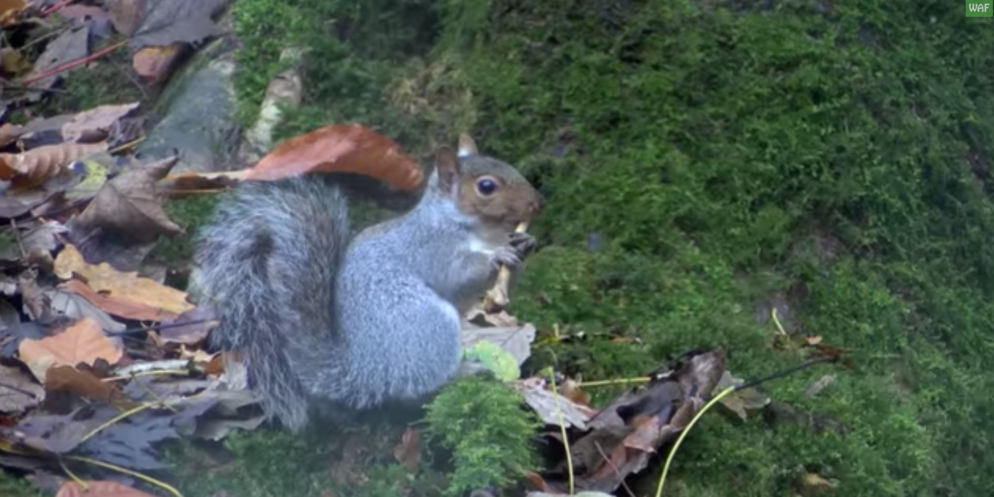 A squirrel plays the flute in 39 the nutcracker 39 because the internet Nutcracker squirrel