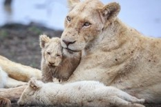 Lion cubs with mother | Pic: Barcroft
