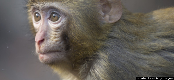 Monkey On The Loose In Florida Has Cops Working 'Tirelessly'