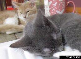 Gatito intenta dormir mientras su hermano ronca como profesional