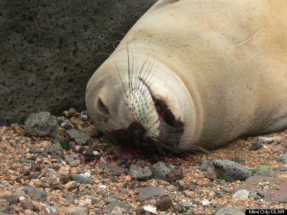 dead monk seal closeup