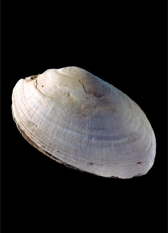 prehistoire coquillage