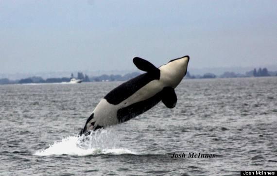 j32 orca killer whale