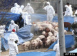 South Korea Reportedly Buries 1.4 Million Pigs Alive To Combat Foot And Mouth Disease
