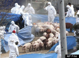 South Korea Pig Burial