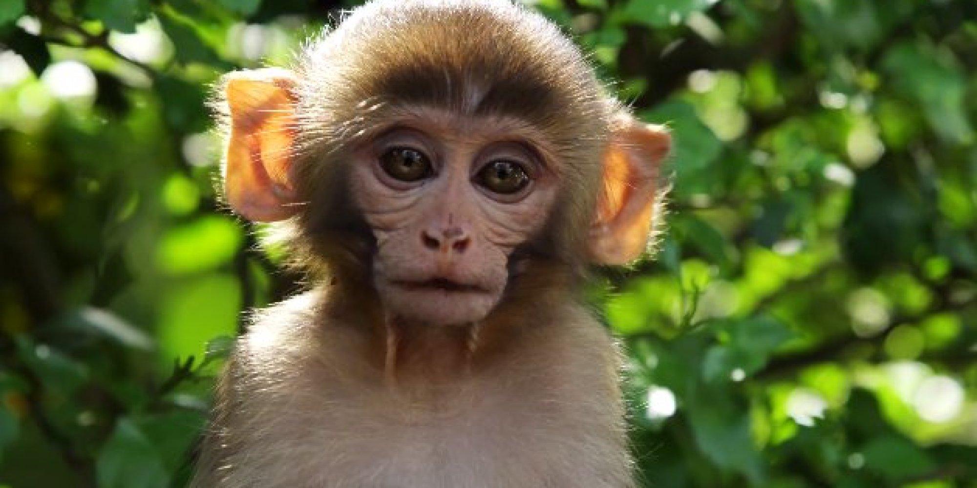 orangutan  Definition amp Facts  Britannicacom