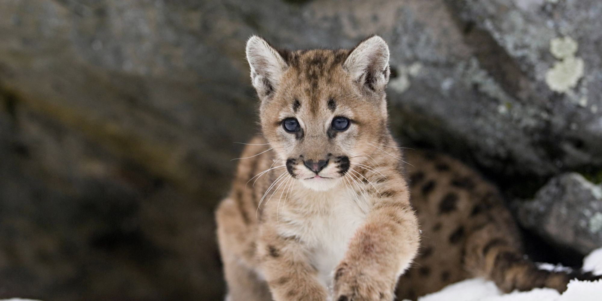 orphaned alberta cougar cub given new home in manitoba zoo. Black Bedroom Furniture Sets. Home Design Ideas