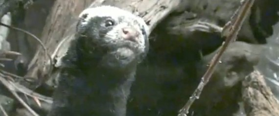 Zorrilla Mammal