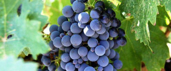 NEW WINE GRAPES NEEDED
