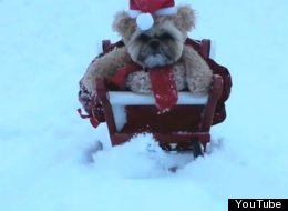 Nothing To See Here. Just A Dog Dressed As A Teddy Bear, On A Sledge