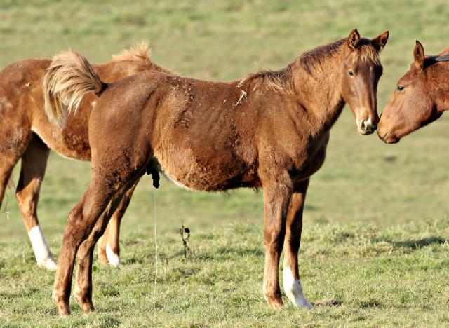 horse penis