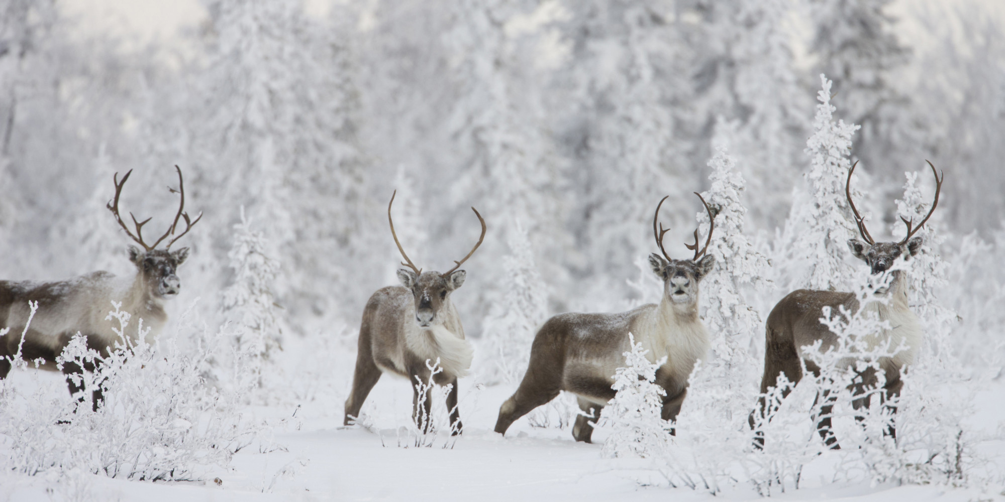 Caribou Continue To Be At Risk In Canada, Report Says