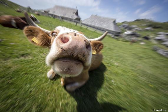 vaca louca