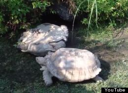 Tortoise Rescues Friend, But Has An Ulterior Motive