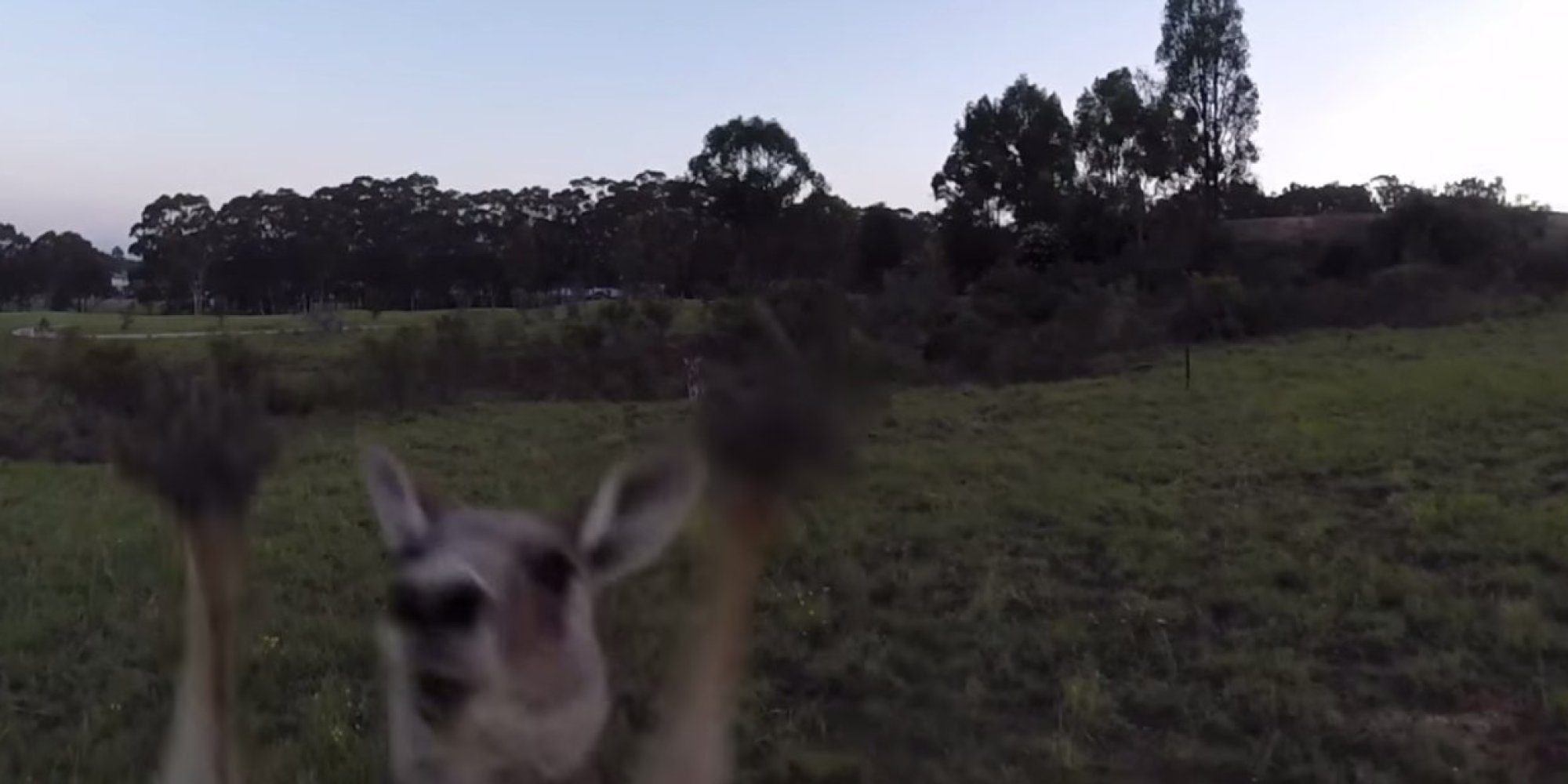 Kangaroo Takes On Drone, Kangaroo Wins