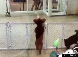 Improve Your Day By Watching This Poodle Dance Like Nobody's Watching