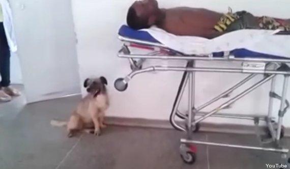 chien ambulance