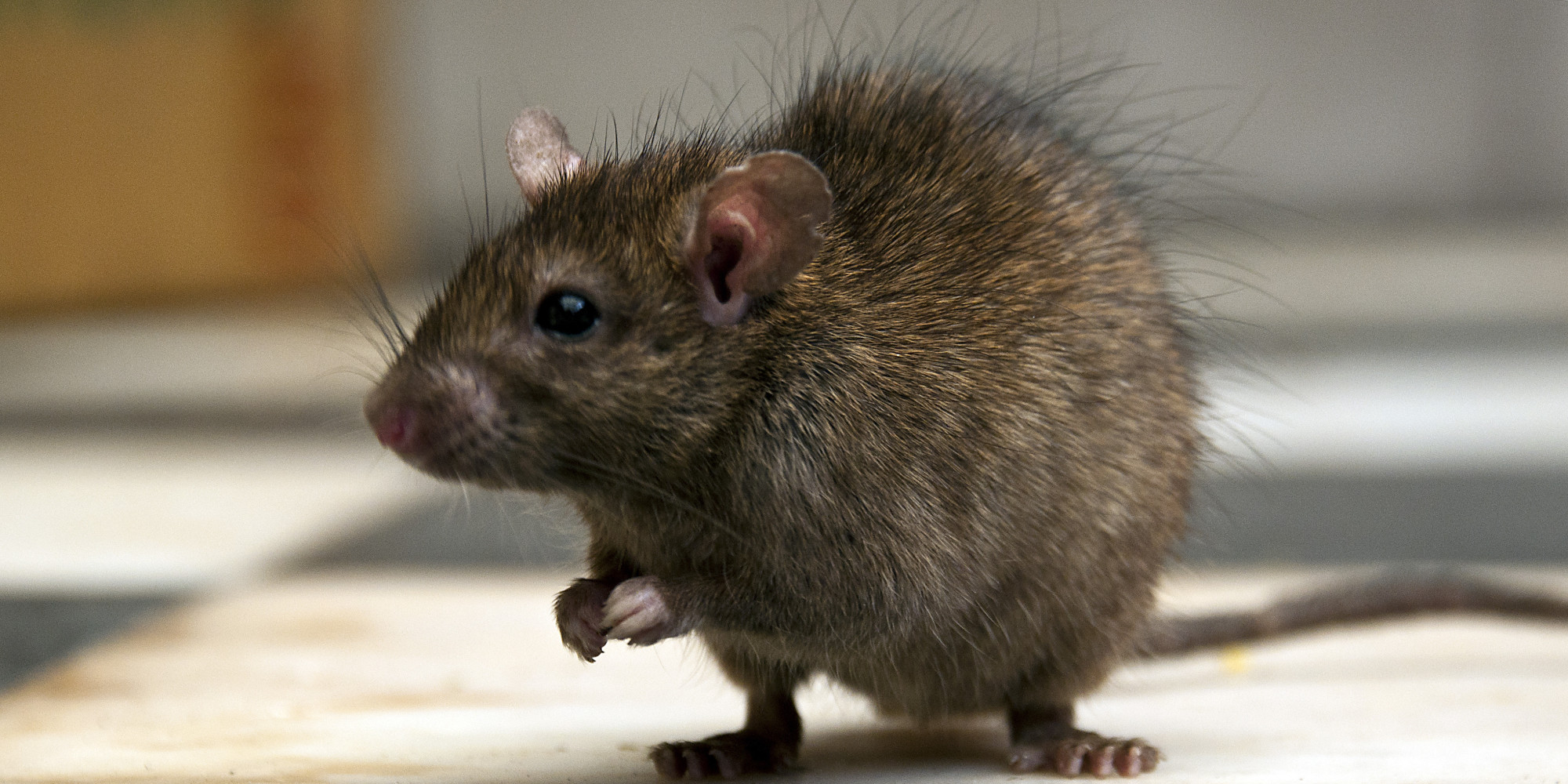 Chicago Is Putting Subway Rats On Birth Control | HuffPost