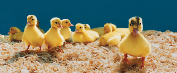 CHICKS FARMING