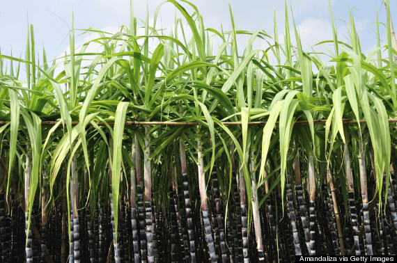 Where does sugar cane come from?
