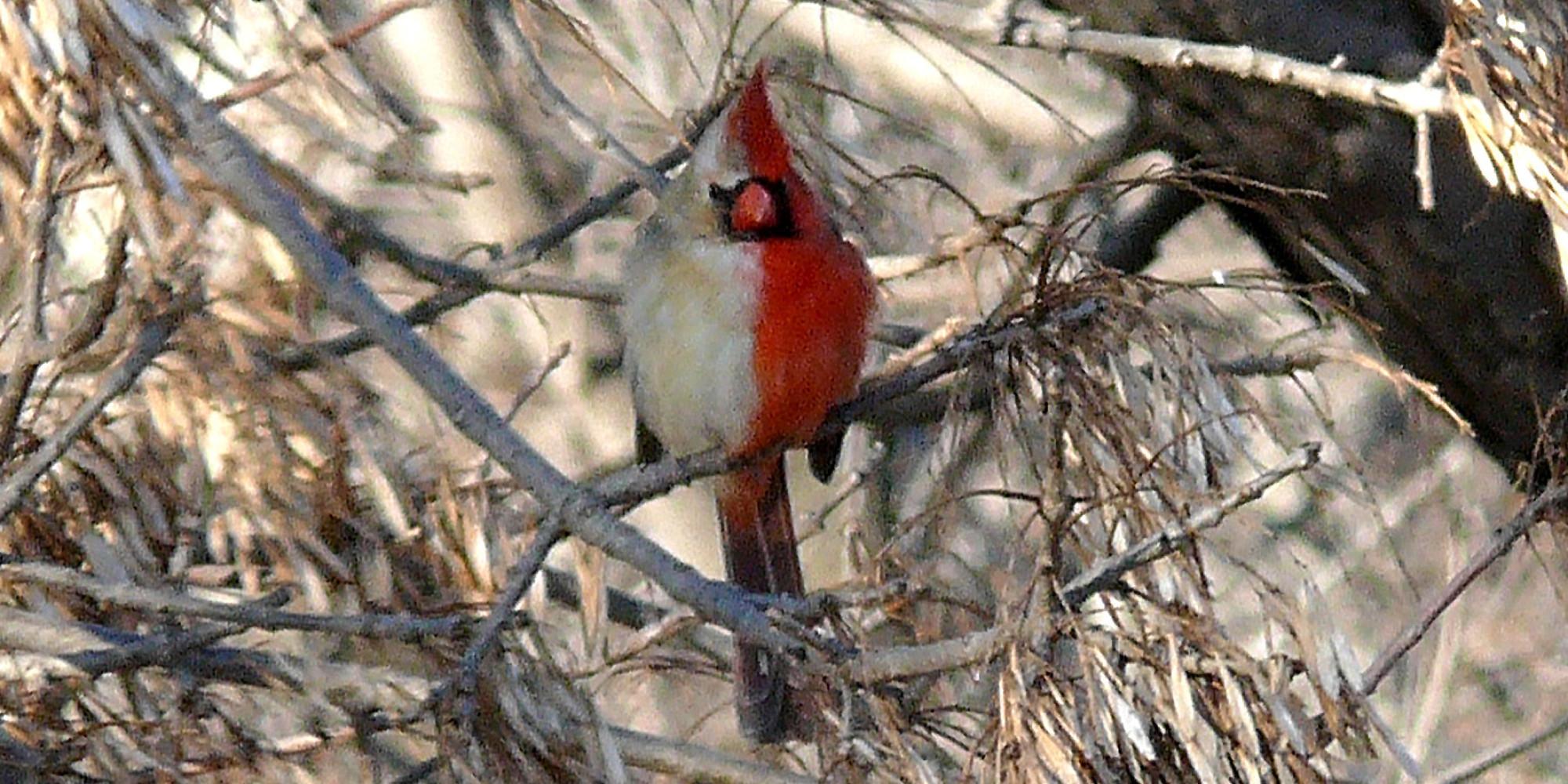 This Half-Male, Half-Female Bird Has Very Peculiar Plumage ...