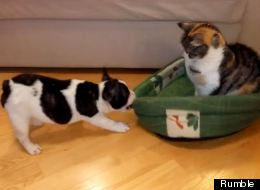 Adorable Puppy In Battle Of Wills With Family Cat