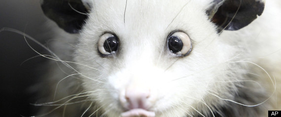 CROSSEYED OPOSSUM