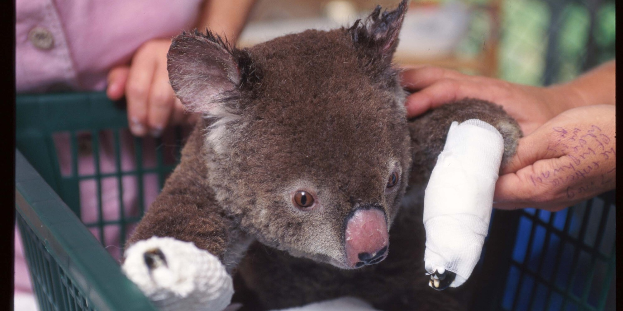 Campaign To Knit Mittens For Injured Koalas Is Successful And Adorable Huff...