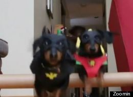 Batdog And His Dachshund Sidekick Defeat A Burglar... With Cuteness!