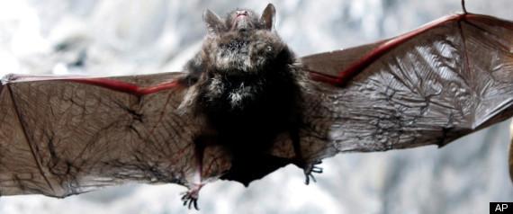 BAT DISEASE