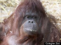 Ape's Freaky Calls Sound A Lot Like Human Speech