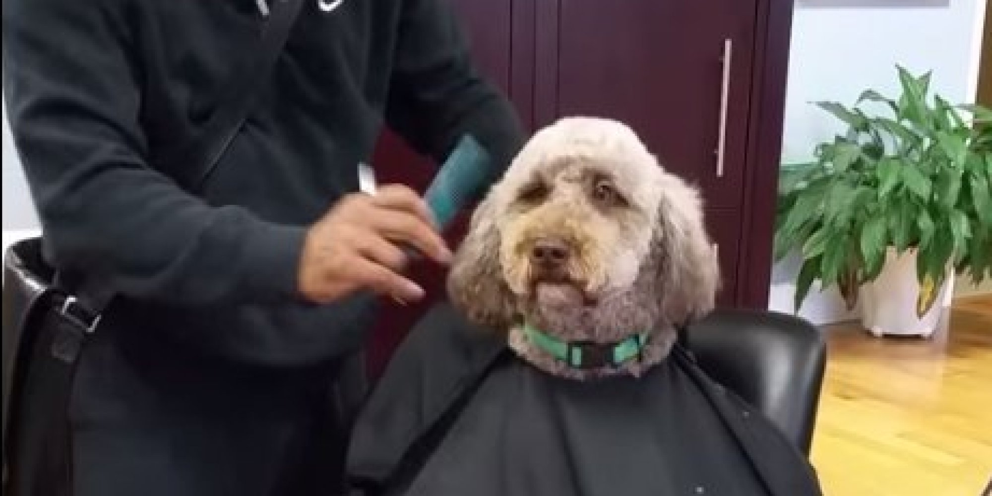 Dog Getting Haircut Dog Gets a Classy Haircut at