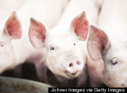 640 Pigs Killed In Ontario Barn Fire