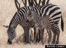 Scientists Offer Cool New Theory About Zebra Stripes
