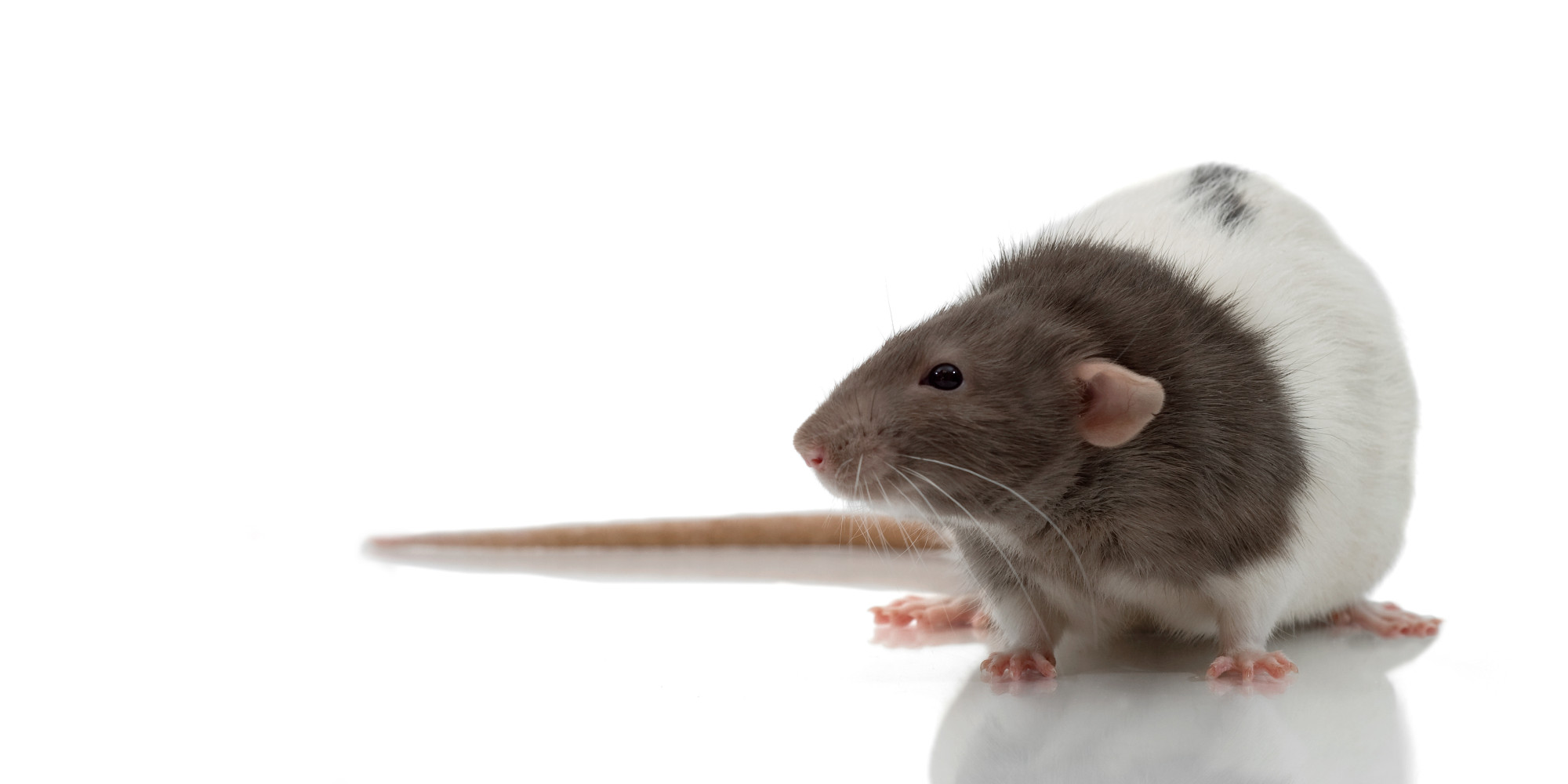 rats like to be tickled why is the animal welfare act so lame rats like to be tickled why is the animal welfare act so lame the huffington post