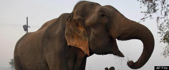 MANEATING ELEPHANT